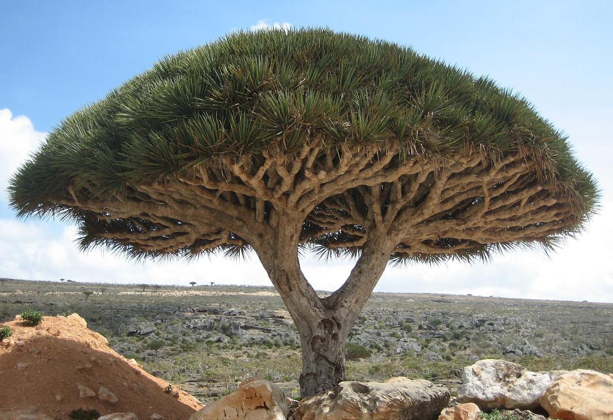 Socotra dragon tree 索科特拉龍血樹