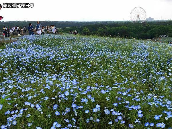 【日本關東】茨城常陸海濱公園粉蝶花 東京出發交通攻略