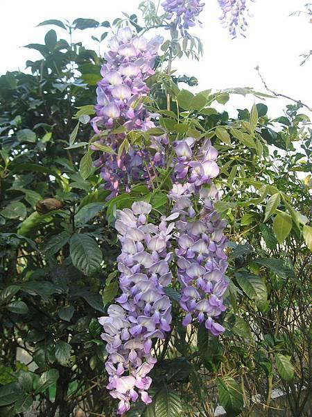 我家的紫藤今年開花了