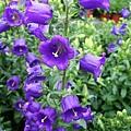 紫色風鈴花