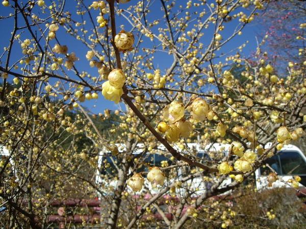 雪霽天晴朗  蠟梅處處香~真的好香