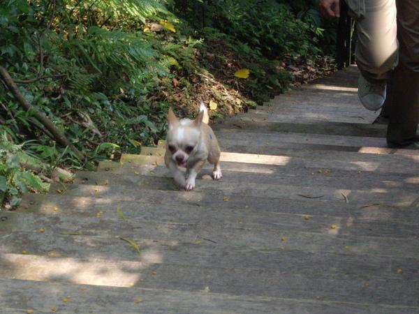 賣力爬樓梯的小狗