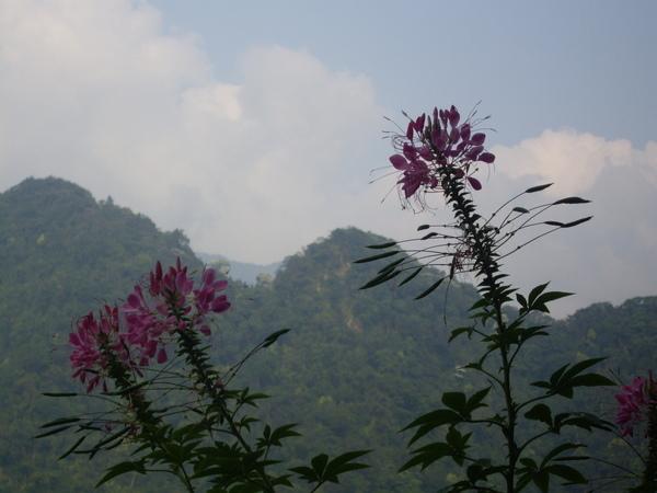 山形玫瑰的小花