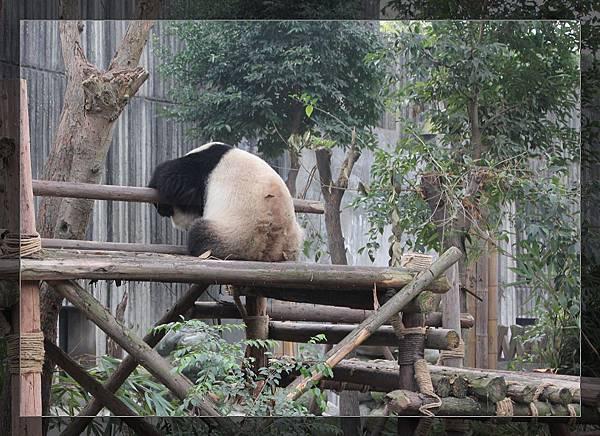 panda 5.jpg