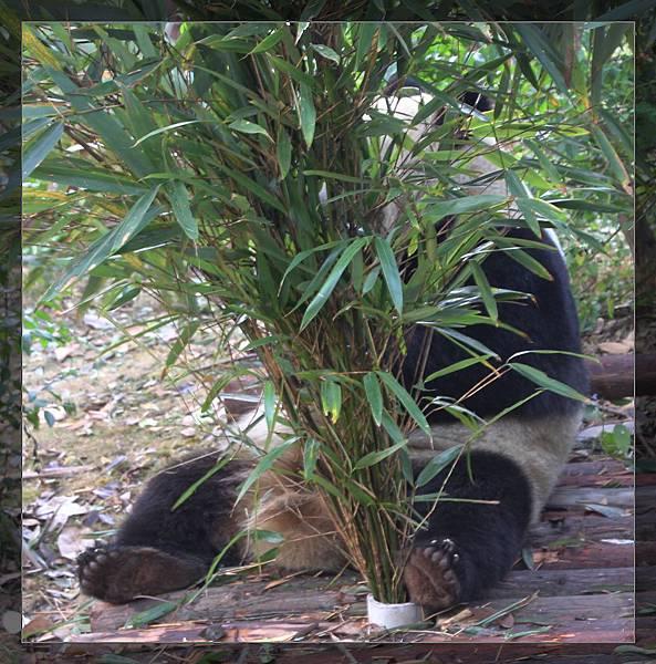 panda 91.jpg