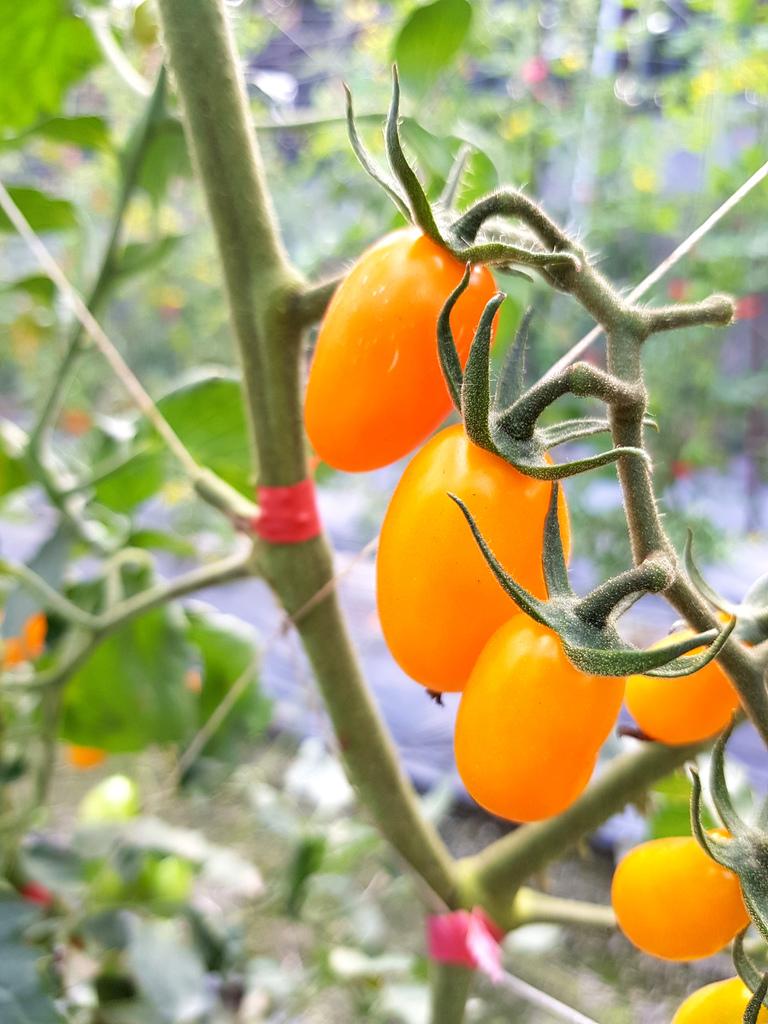 美濃採番茄 (5).jpg