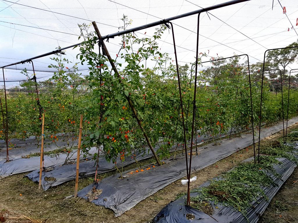 美濃採番茄 (4).jpg