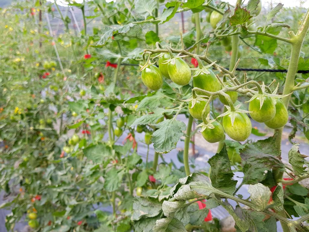 美濃採番茄 (7).jpg