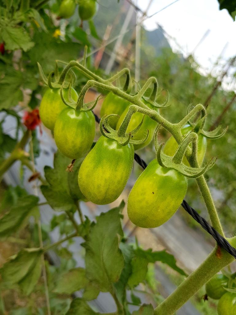 美濃採番茄 (15).jpg