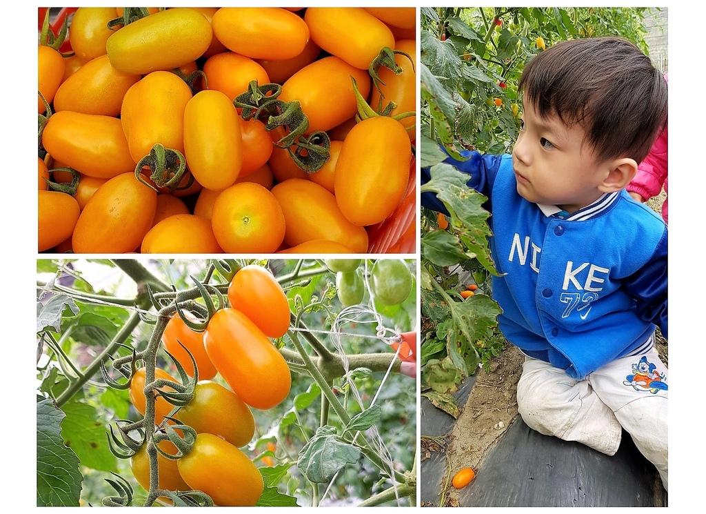 美濃採番茄.jpg