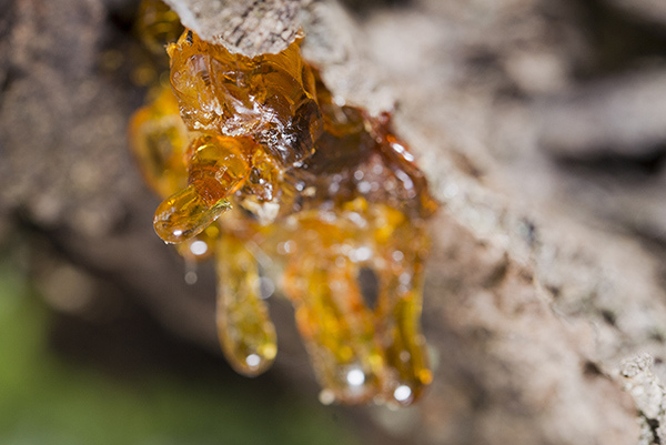 frankincense-resin.jpg