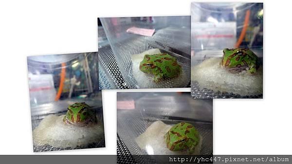 角蛙.jpg