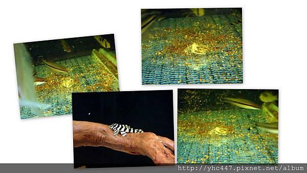 黃金斑馬.jpg