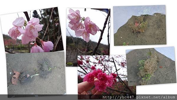 2012陽明山櫻花