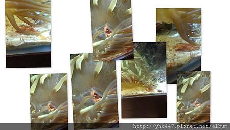 海葵吃海星