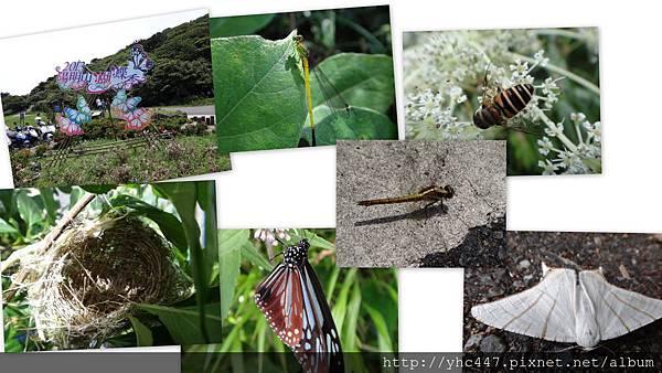201306青斑蝶