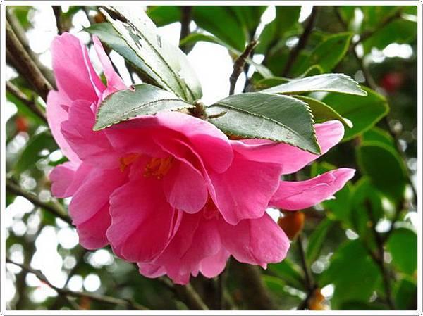 杜鵑茶花園_010.jpg