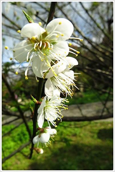 杜鵑茶花園_151.JPG