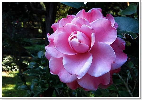 花卉中心茶花_066.jpg
