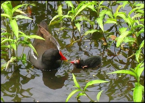植物園紅冠水雞_32.jpg