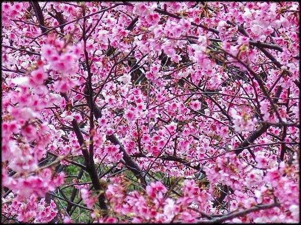 壽山岩公園櫻花綻放_41.jpg