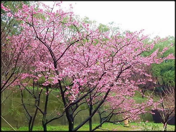 壽山岩公園櫻花綻放-1_24.jpg