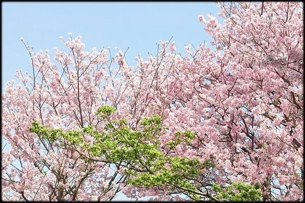 東方寺賞櫻_08.JPG