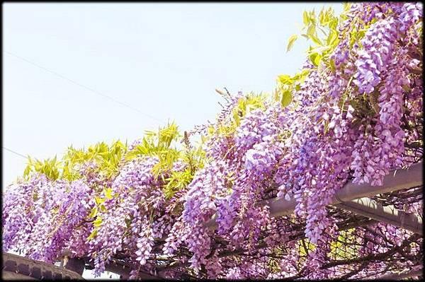 賞紫藤_005.jpg
