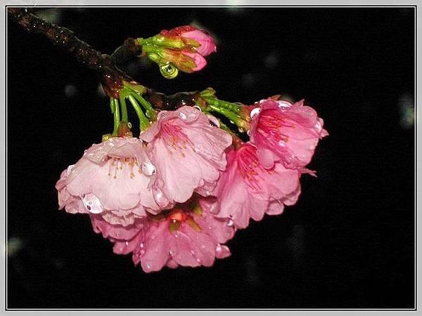 櫻花-3_04.jpg