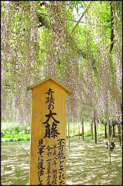 足利紫藤花卉公園(8)_4285.jpg