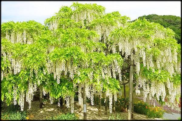 足利紫藤花卉公園(8)_4333.jpg