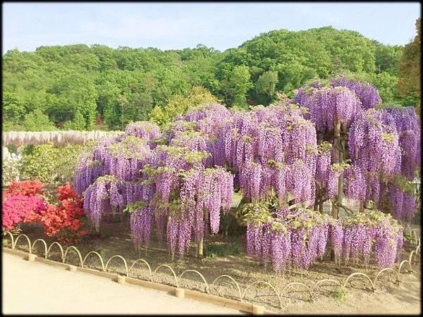 足利紫藤花卉公園(8)_4255.1.jpg