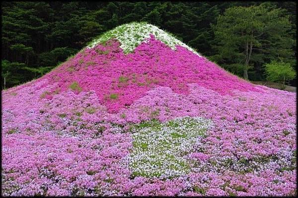 富士芝櫻祭(11)_4807.JPG