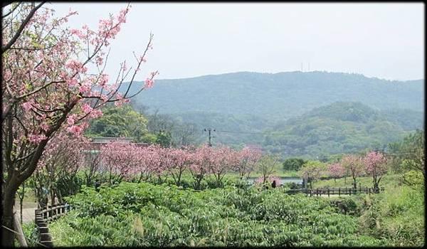 三芝三生步道賞櫻-1_007.jpg