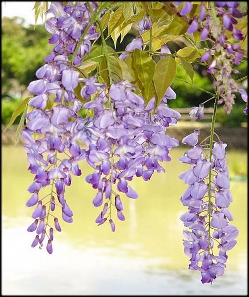 大湖紀念公園紫藤花_039.jpg