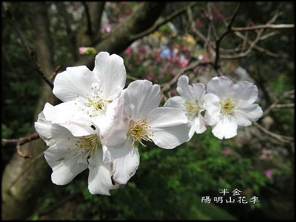 2019陽明山櫻花_065.jpg