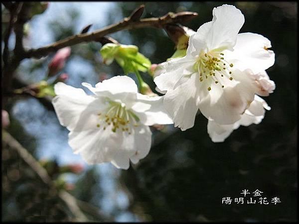 2019陽明山櫻花_066.jpg