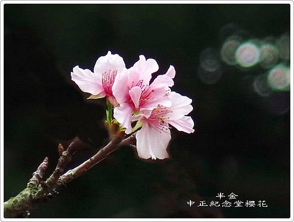 2019中正堂櫻花_023.jpg