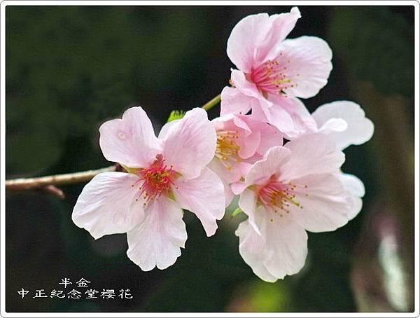 2019中正堂櫻花_021.jpg