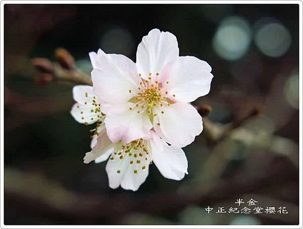 2019中正堂櫻花_020.jpg