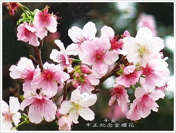 2019中正堂櫻花_060.jpg