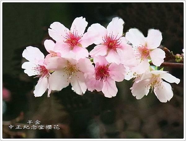 2019中正堂櫻花_062.jpg