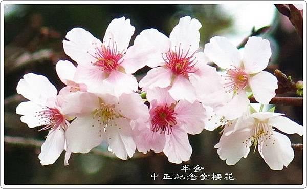 2019中正堂櫻花_063.jpg