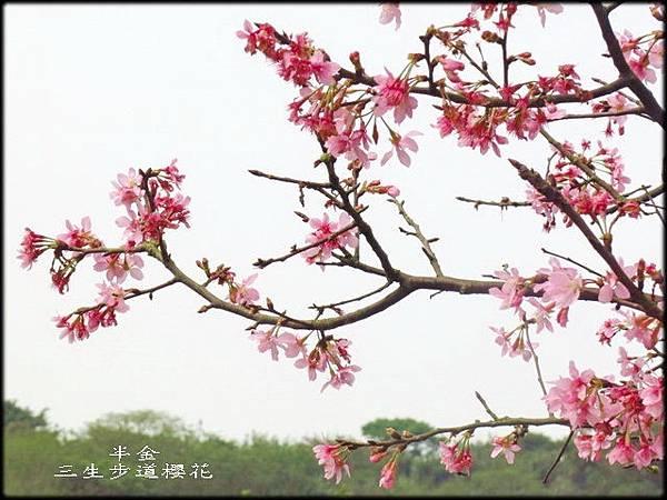 2019三生步道櫻花_075.jpg