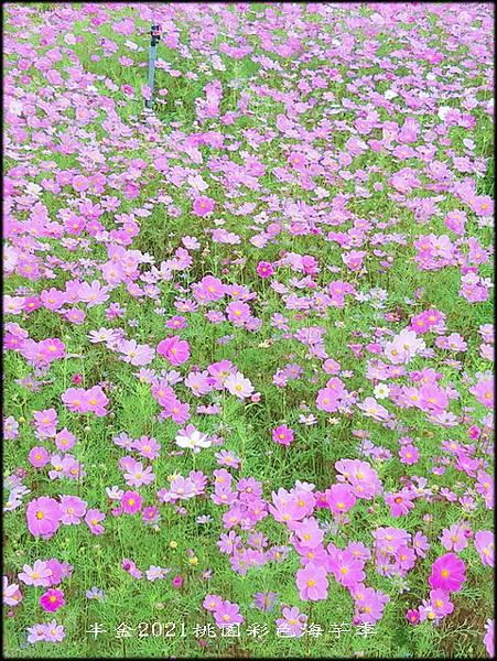 2021桃園彩色海芋季-3_032.jpg