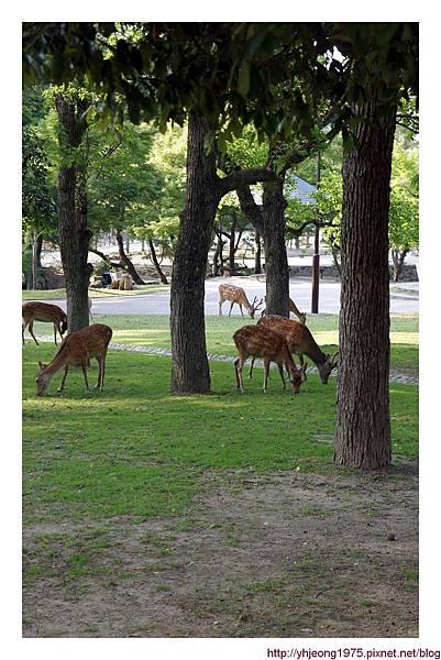 東大寺-吃草的鹿.jpg