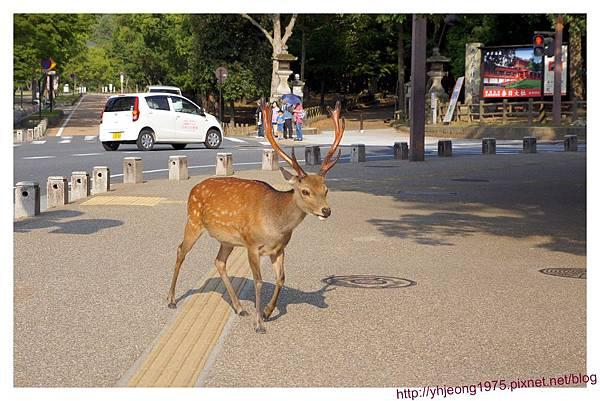 東大寺-散步中的鹿.jpg