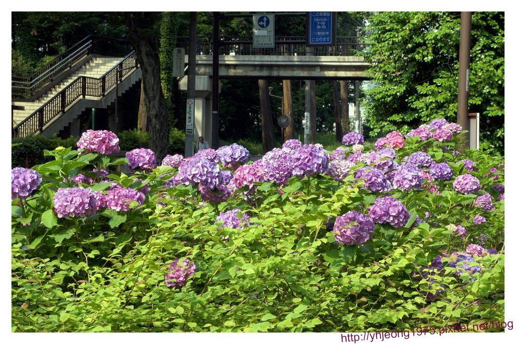 井之頭-紫陽花.jpg