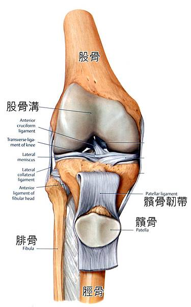 knee-patella_bone