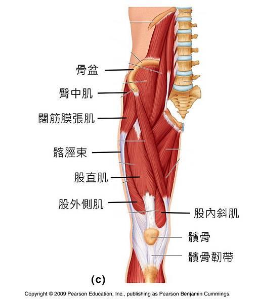 knee muscle